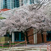 Central Library cherry blossoms