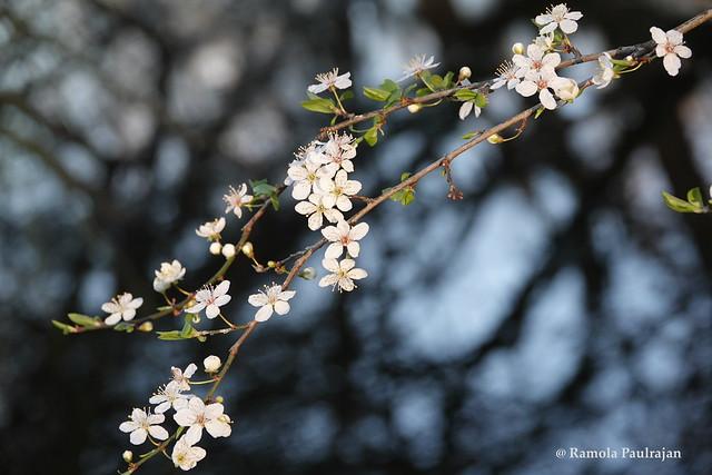 Cheerful Cherry blossom!