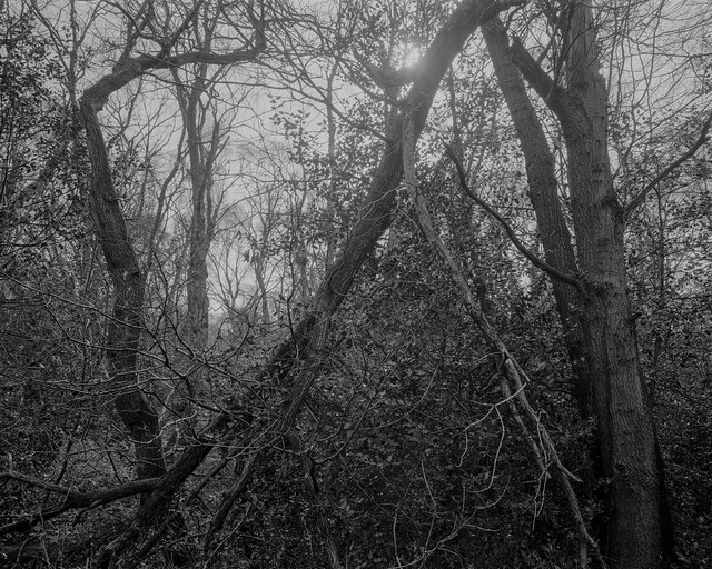 Hyons Wood, Walker Titan SF, Nikkor 90mm, Ilford Ortho+ in Perceptol