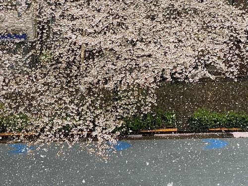 雪と桜 2020/3/29 IPhone