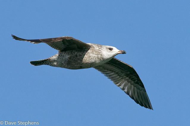 Ring-billed Gull Flies By