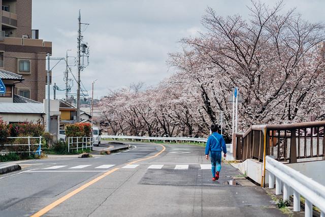 CherryBlossoms3_99