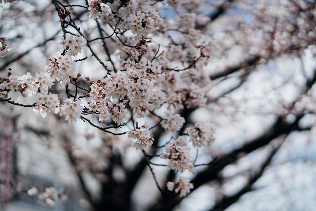 CherryBlossoms3_09