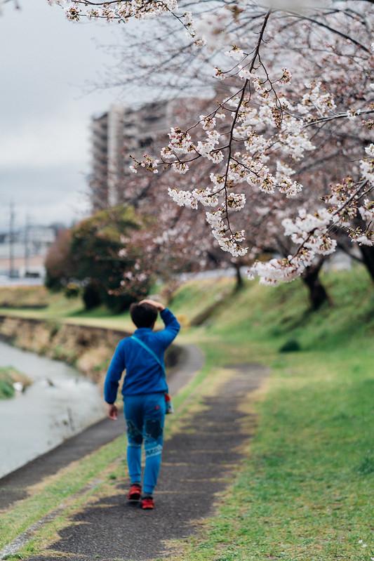 CherryBlossoms3_06