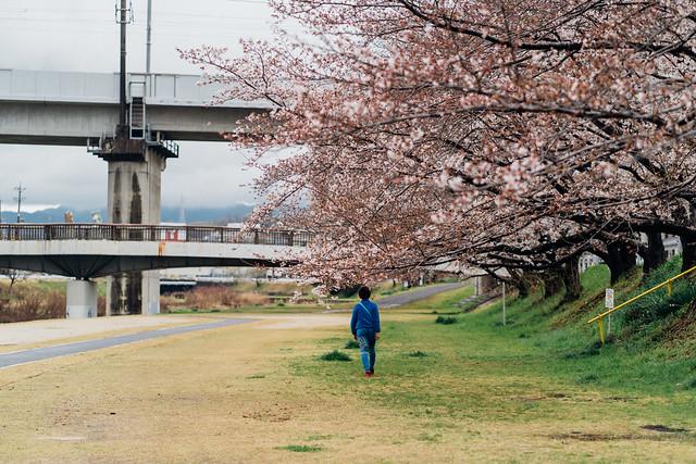 CherryBlossoms3_04