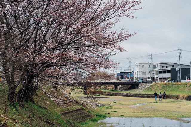CherryBlossoms3_02