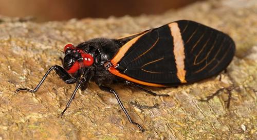 Cicada (Tosena paviei, Tosenini, Tibiceninae, Cicadidae)