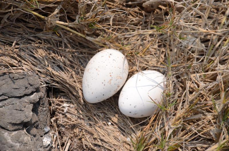 雞善嶼燕鷗蛋殼 (1)