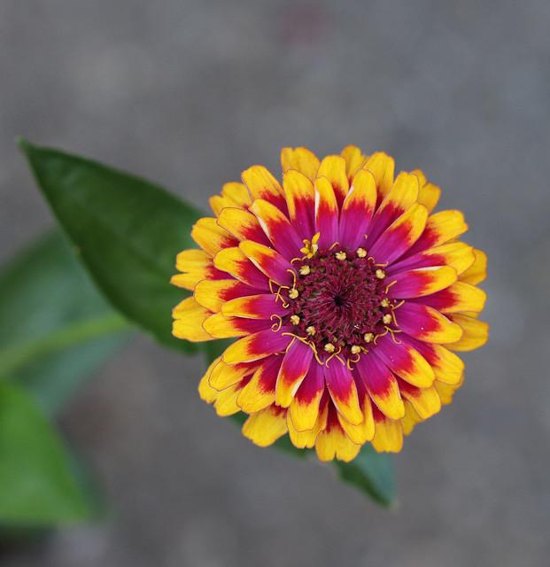 High voltage Macarenia zinnia flowers.