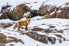 Red Fox on Fogo Island