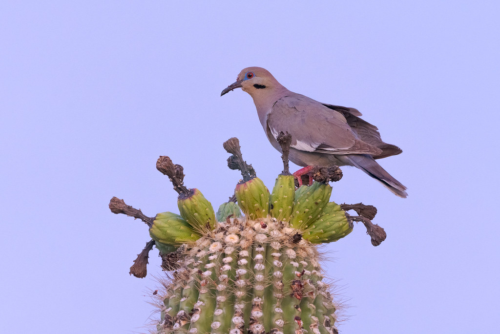 A white-winged dove perches on unripened fruit atop a saguaro at dawn on the Latigo Trail in McDowell Sonoran Preserve in Scottsdale, Arizona in June 2019
