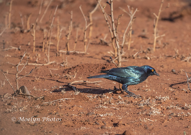 Cape Glossy Starling on the Ground