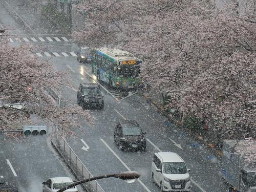 雪と桜 2020/3/29