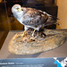 Northern Harrier taxidermy
