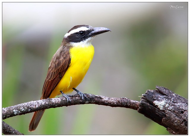 Mosquero Picudo, Megarynchus pitangua, Boat-billed Flycatcher. Ishca Loma, Vilcambamba, Loja, Ecuador