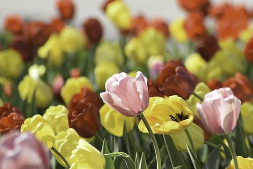 _DSC0662-Edit  tulip 03