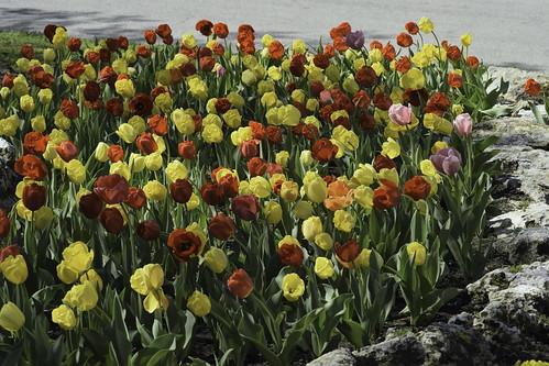 _DSC0003 tulip 04