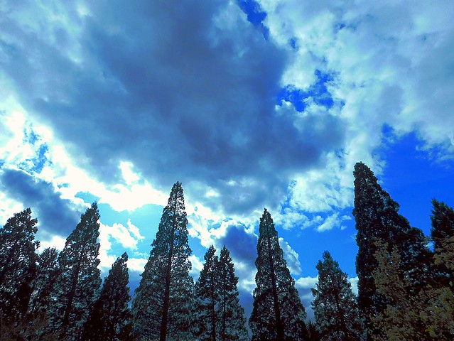 Row of Evergreen Trees All Seem to Point to the Clouds