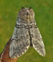 Silver Moth..x