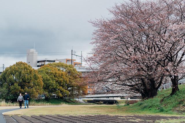 CherryBlossoms3_01
