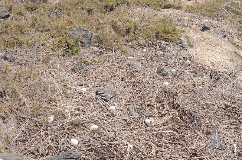 雞善嶼燕鷗蛋殼 (2)