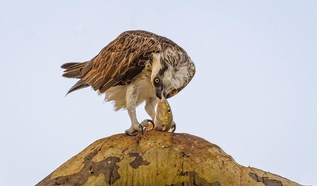 eastern osprey - evening meal #5