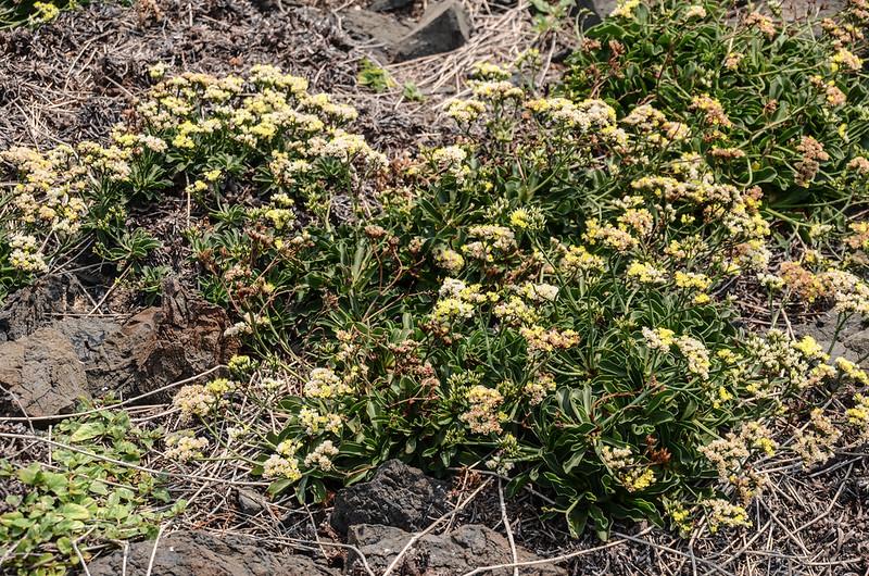 雞善嶼植被--石蓯蓉 (3)