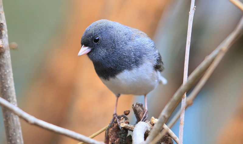 dark-eyed junco at Lake Meyer Park IA 653A1142
