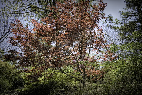 _DSC0685-Edit japanese maple 01