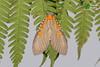 Euplocia membliaria ♀