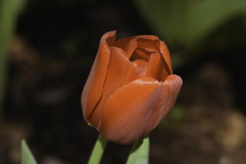 _DSC0657-Edit tulip01