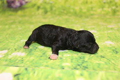 Nutty Buddy Male CKC Malshipoo 6.3oz 3 Days old (76)