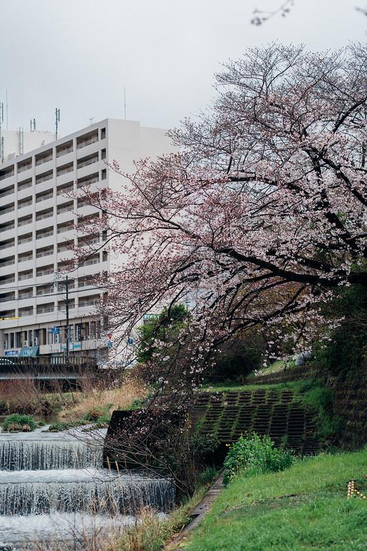 CherryBlossoms3_07