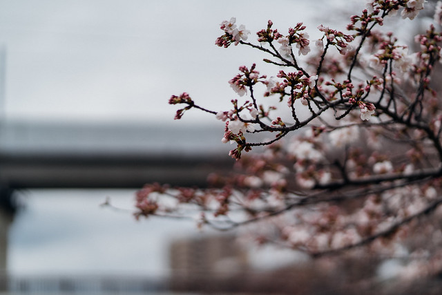 CherryBlossoms3_05