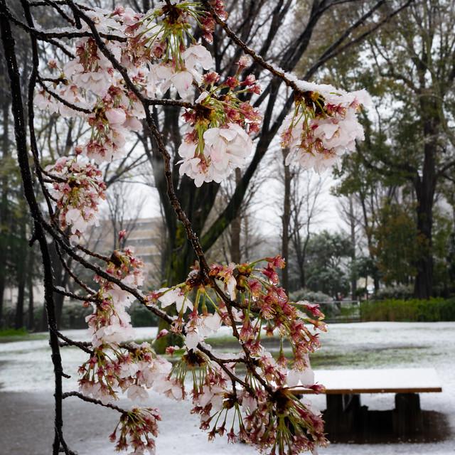 Sakura in the snow