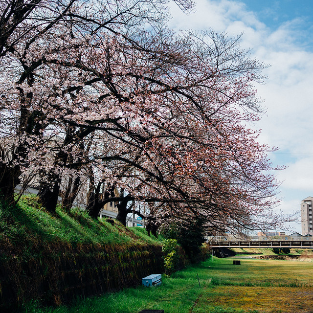 CherryBlossoms3A_08