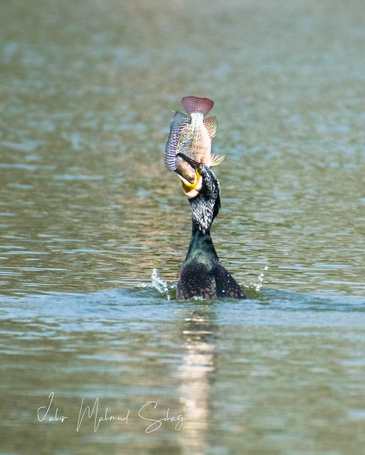 The last meet of Two eyes : Great Cormorant with it's big meal