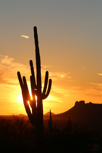 sunset saguarocactus saguaro cacti cactus silhouette apachejunction arizona