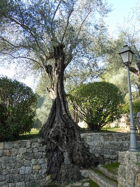 les racines de l'olivier