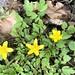 Ranunculus carolinianus