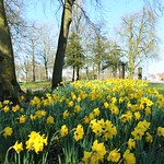 Yellow daffodils in Ashton Park, Preston