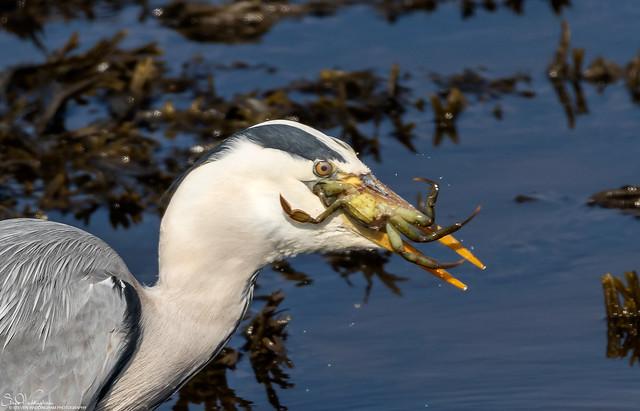 Heron and large crab