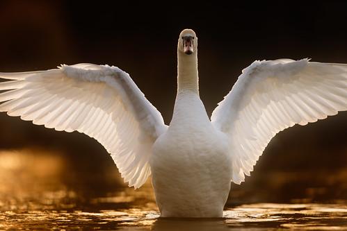 swan sunset whitlingham broad norfolk jonathan casey bird wildlife photography uk nikon d850 400mm f28 vr