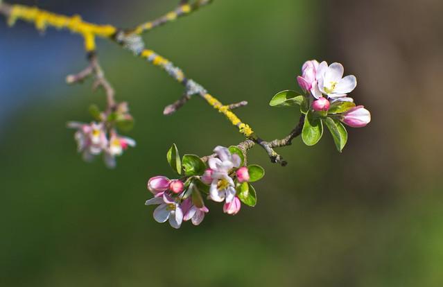 Apfelblüte offen