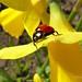 Ladybird on Daffodil2