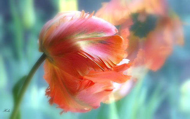 Tulip 'Flower Power'