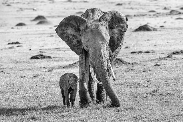 Mom and calf