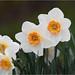 Rainy Day Daffodils