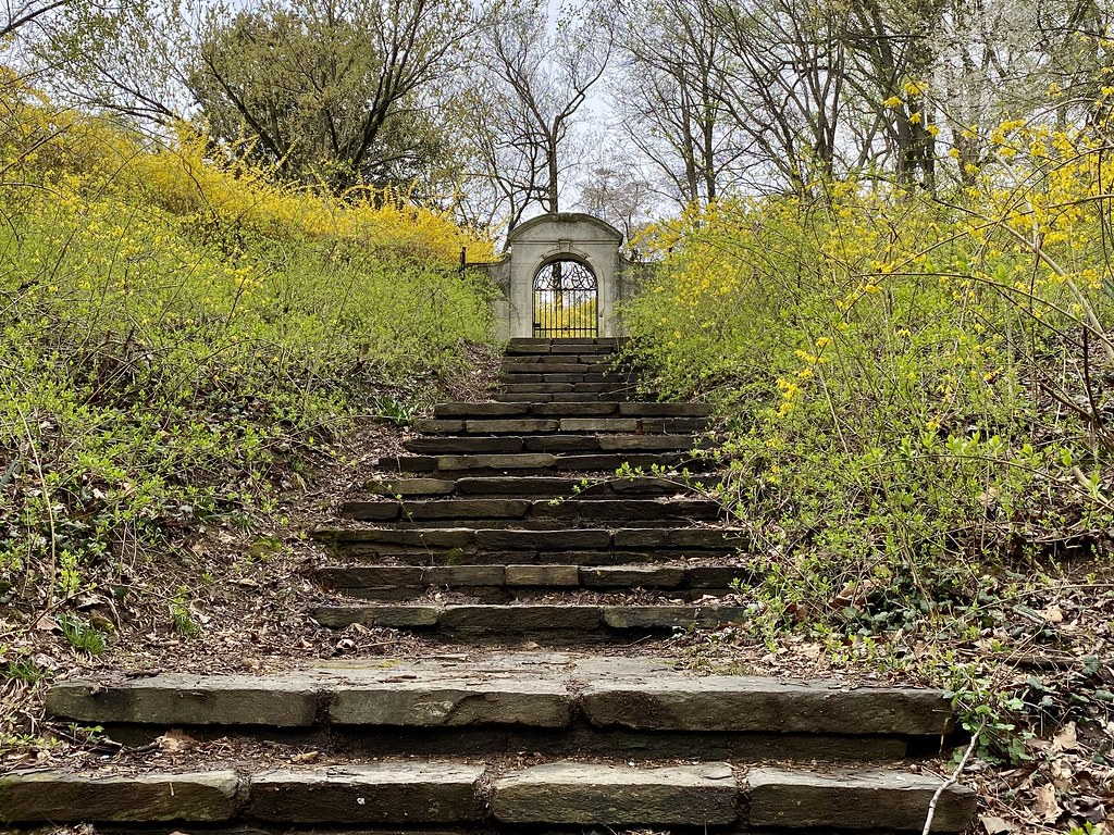 forsythia steps in Dumbarton Oaks Park
