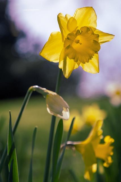 Little daffodils